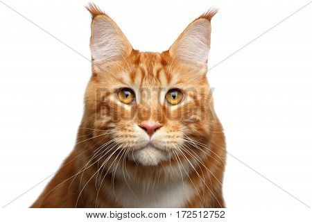 Portrait of Staring Ginger Maine Coon Cat with brush on ears Isolated on White Background, front view