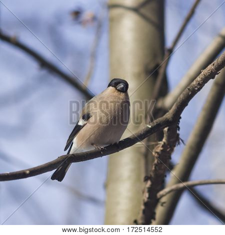 Brown Female of Eurasian Bullfinch Pyrrhula pyrrhula close-up portrait on branch with bokeh background selective focus shallow DOF