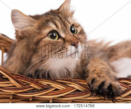Beautiful adult siberian cat isolated over white background