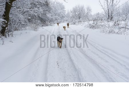 Winter landscape with earth road and hungry gang of stray dogs searching some food