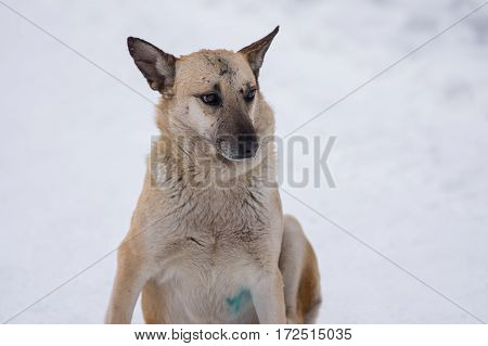 Winter portrait of cute mixed breed stray dog with scars on the snout received in street dog fights