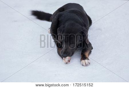 Black stray dog lying on a snow and sleeping