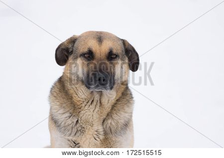 Winter portrait of majestic mixed breed stray dog
