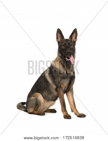 Working dog german shepherd sitting seen from the side with tongue sticking out facing the camera isolated on a white background