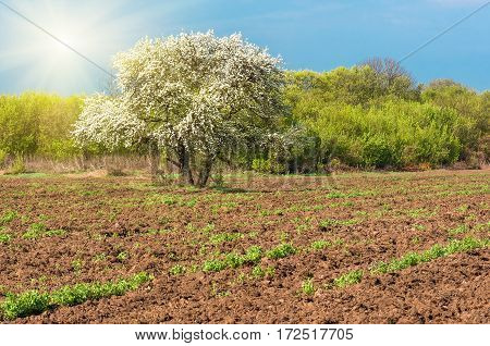 bloom lonely big tree pear in a farmer's field, a clear spring day. agricultural background