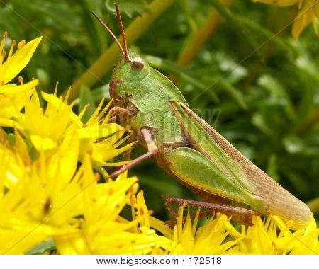 Grasshopper And Yellow Flowers
