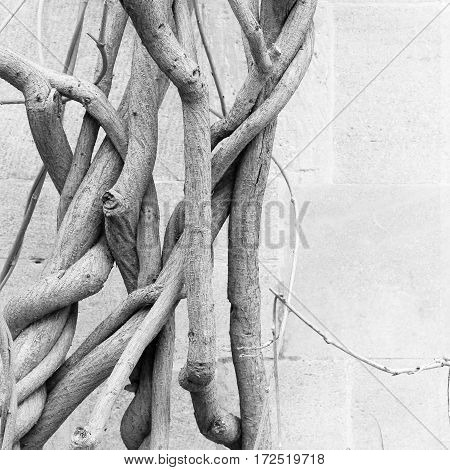 Old Wisteria Plant Bare Wines In Winter - Antique Stone Wall