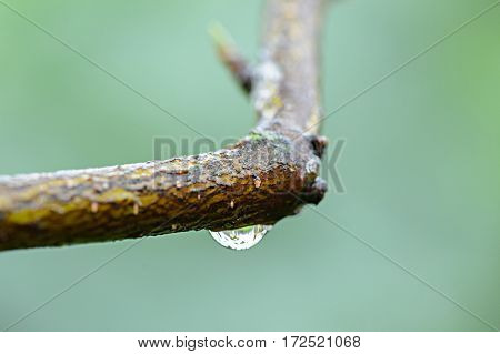 The influx of pods on a bare twig, blurred green background, summer