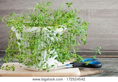 Thyme plant on wooden background. Herbs for cooking