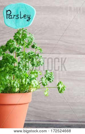 Parsley growing in a pot. Sign with the inscription Parsley. Ingredients for cooking