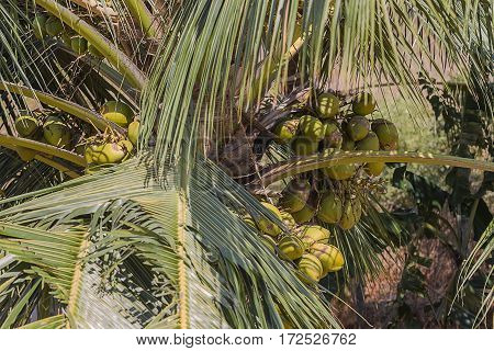 photo of a bunch of coconuts in a coconut palm tree