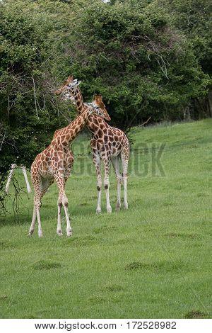 Photo of  three beautiful Rothschild Giraffe grazing