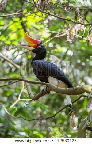 Close-up of the Hornbill, Borneo, Malaysia.