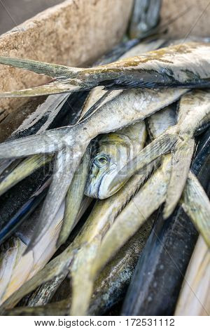 Catch fresh scombridae fishes lying in plastic container just from sea, on fishermen boat.