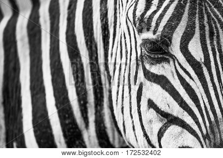Close uo of a zebra showing black and white pattern and eye