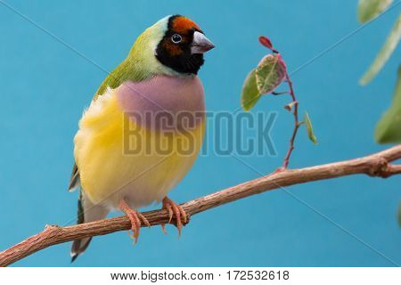 Beautiful multi colored Gouldian finch bird from Australia
