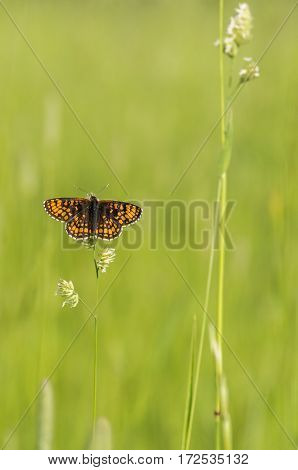 Butterfly beautiful brown among the green grass