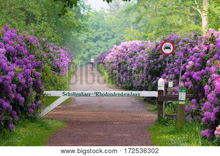 OLDENZAAL NETHERLANDS - MAY 27 2016: Disappearing cyclist in a beautiful lane with blooming rhododendron flowers