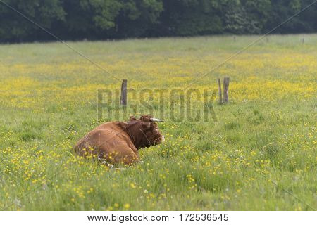 lazy limousine cow in a peaceful dutch landscape