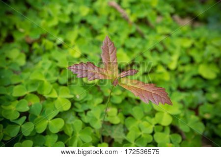 young oak tree on a bed of clover