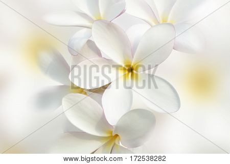 Cluseup for White plumeria flower beautiful background