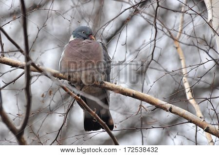 Common Wood Pigeon, Wood pigeon on branch in the park in wintertime