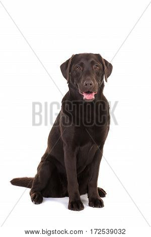 Female chocolate brown labrador retriever dog sitting with its mouth open facing the camera isolated on a white background