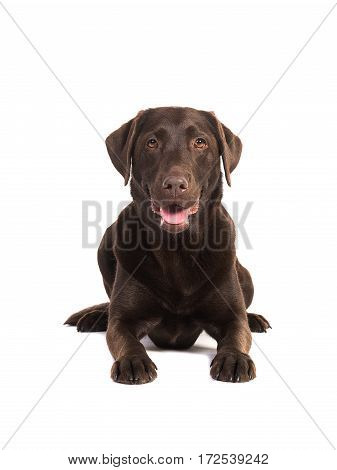 Female chocolate brown labrador retriever dog lying on the floor seen from the front facing the camera isolated on a white background
