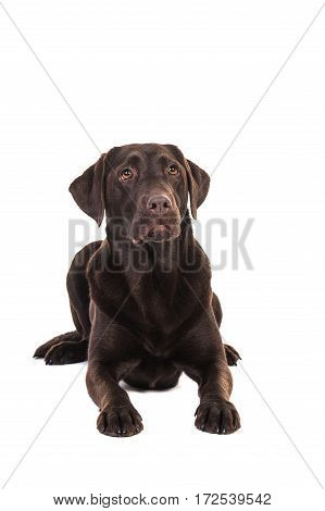 Female chocolate brown labrador retriever dog lying on the floor seen from the front looking up isolated on a white background