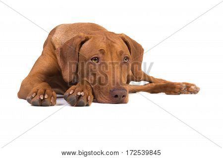 Pretty rhodesian ridgeback dog lying on the floor with its head down isolated on a white background