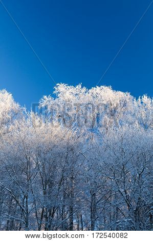 Hoarfrost white trees and clear blue sky