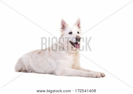 White swiss shepherd dog lying on the floor looking to the right seen from the side isolated on a white background