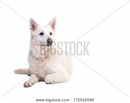 White swiss shepherd dog lying on the floor seen from the front looking to the right isolated on a white background