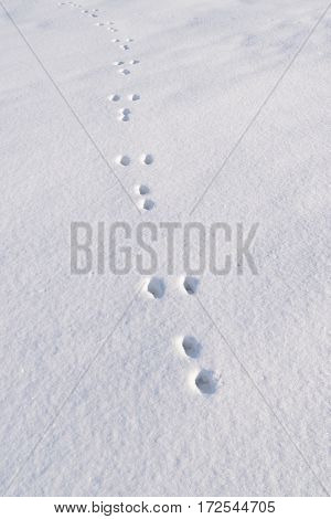 Hare tracks on white snow in winter.
