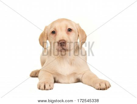 Pretty blond labrador retriever puppy lying on the floor seen from the front facing the camera isolated on a white background