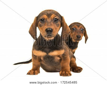 Cute sitting shorthair dachshund puppy dogs facing the camera isolated on a white background