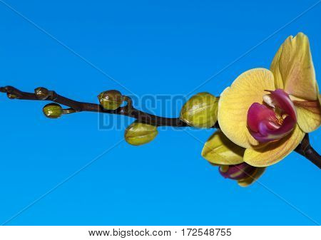 branch Orchid flower on blue background plant