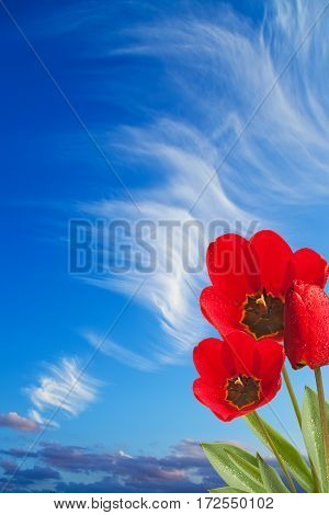 three red tulips on the blue sky