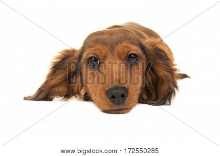 Long haired badger-dog puppy lying on the floor seen from the front with its head on the floor facing the camera isolated on a white background