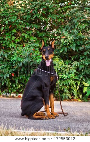 Dog Elite Breed Doberman Sitting On The Footpath In The Park  A Background Of Bushes