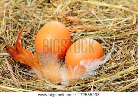 Two chicken eggs with feathers on the hay background