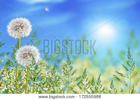 Fluffy dandelion flower against the background of the summer landscape.