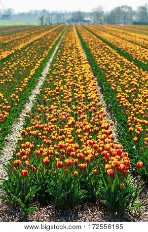 Lisse the Netherlands - April 21 2016: cultivated tulip field