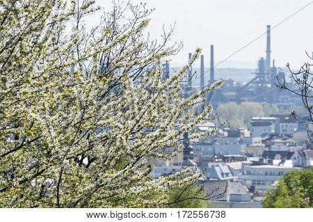 White cherry tree blossom with steel work factory and part of city in smog in background. Ostrava Czech Republic