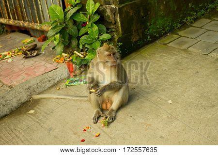 bali monkey forest in monkey . .