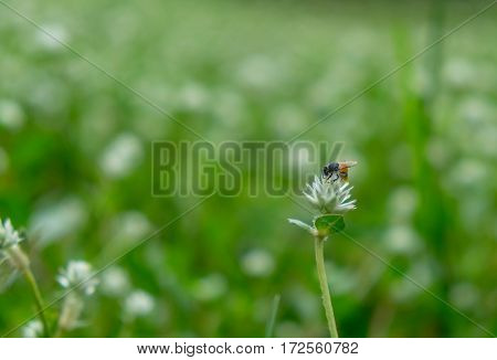 Bee Honeydew Harvest From Flower Grass In Green Meadow Field Background