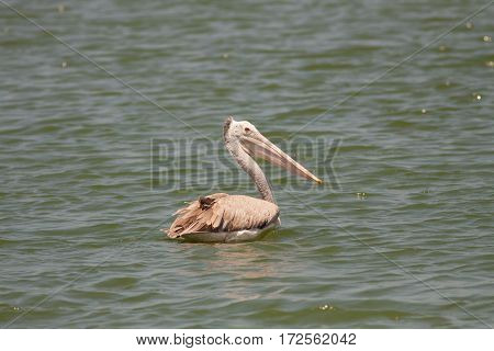 The pelican bird swimming in the river