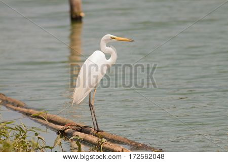 The white egret stand on the bamboo stick in the pond