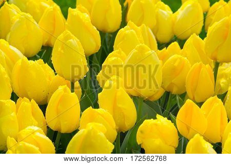 yellow tulips with water drops, flowerbed after rain postcard, holiday background