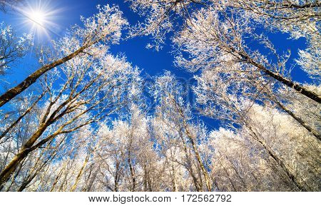Winter wonderland with snow white treetops against the deep blue sky and the sun worms eye view